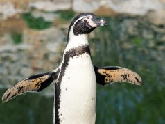 Why it is necessary to flip penguins